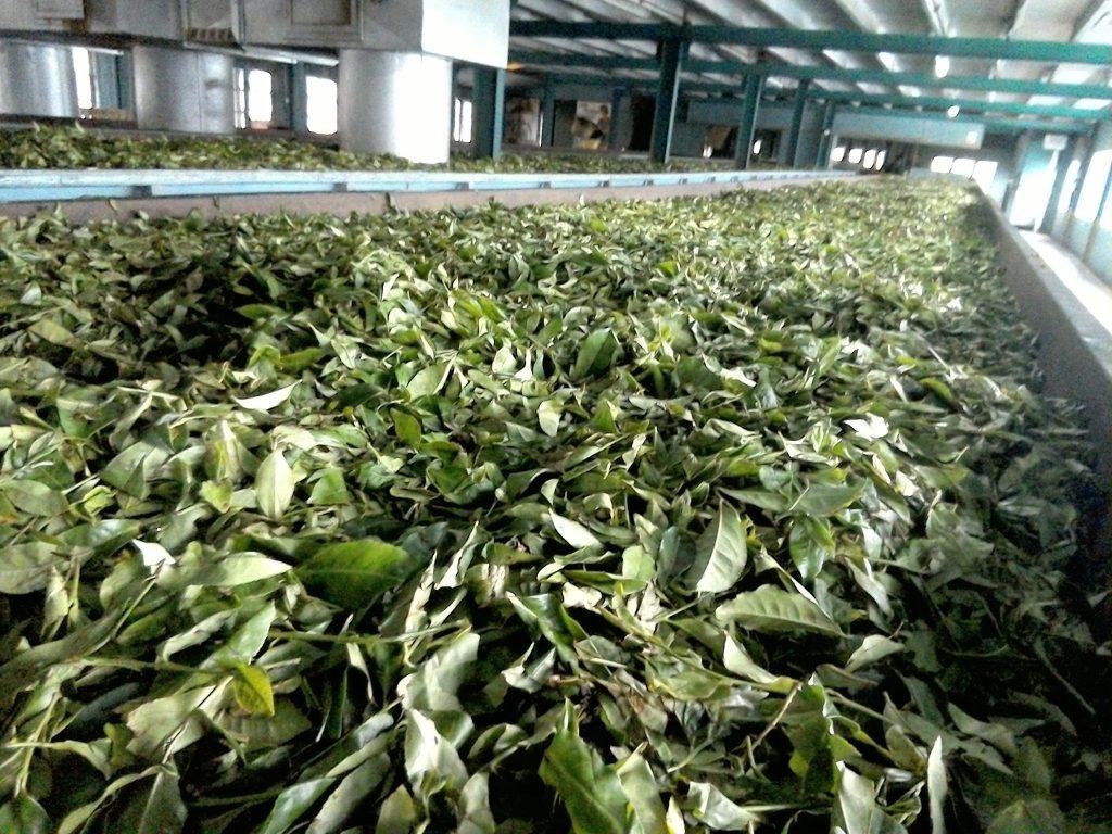 スリランカ紅茶の工場
