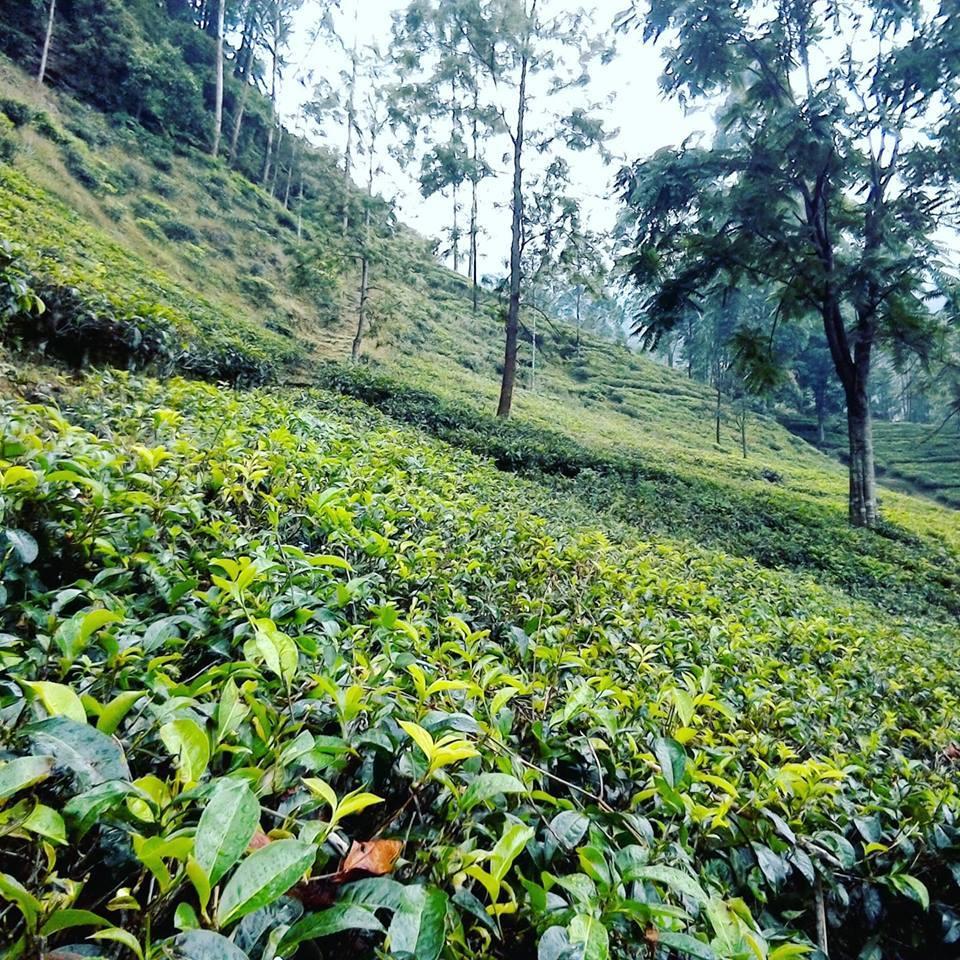 紅茶畑の景色