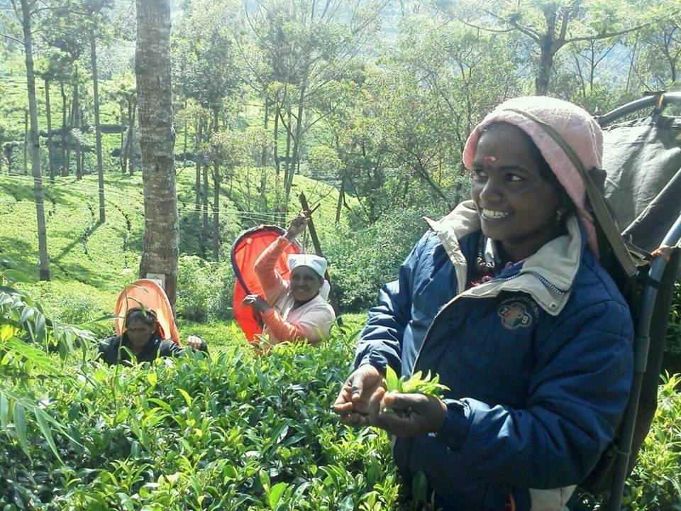 紅茶摘みの風景