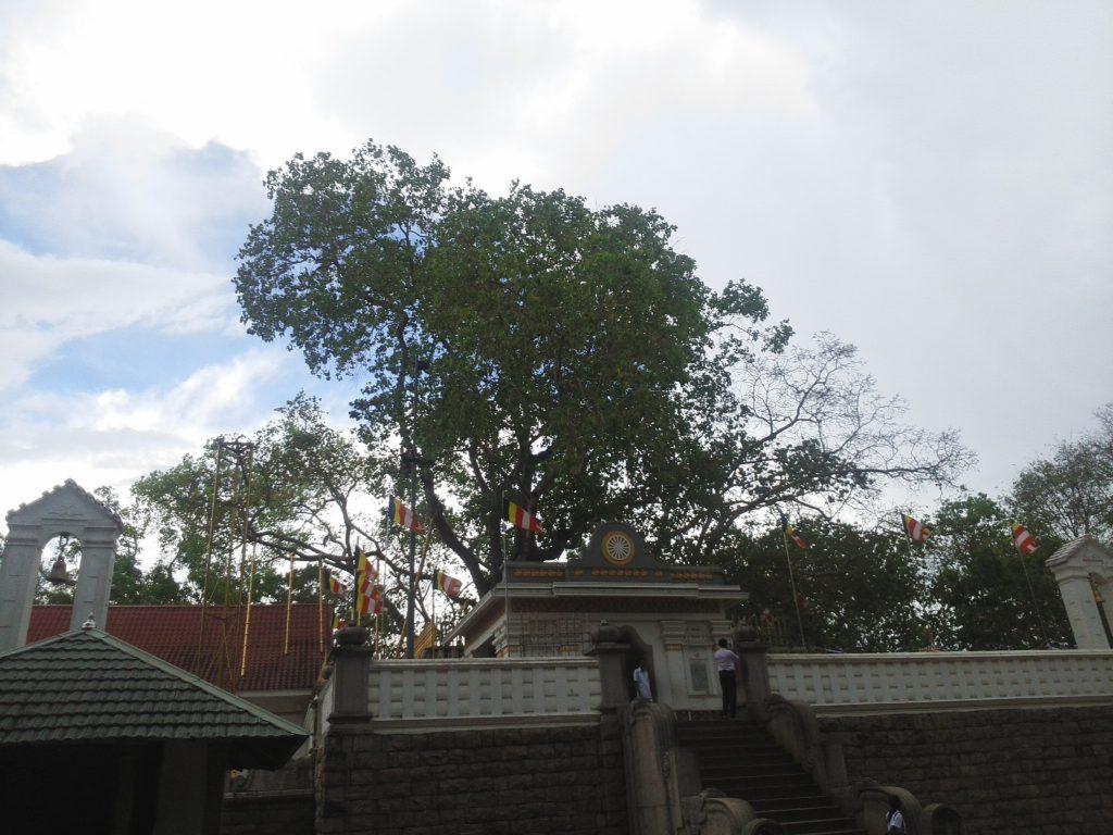 スリー・マハー菩提樹